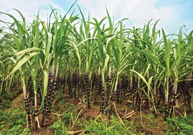 Как правило, ром делают из сахарного тростника