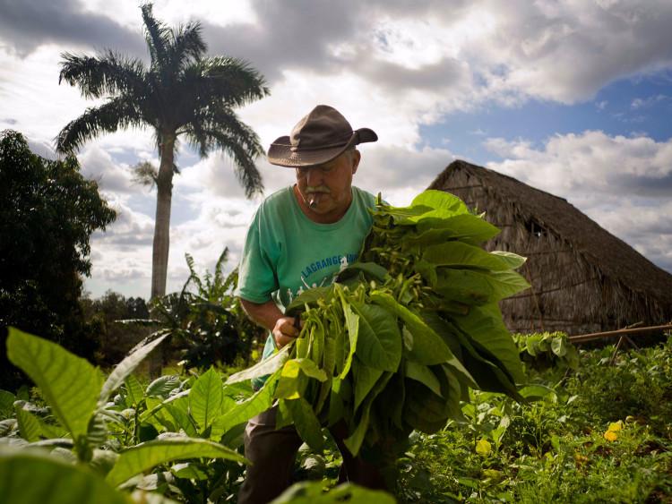 Как выращивают табак для кубинских сигар